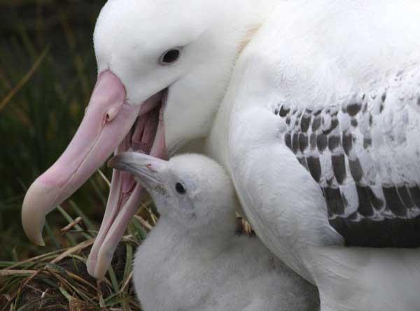 albatros errante con su polluelo
