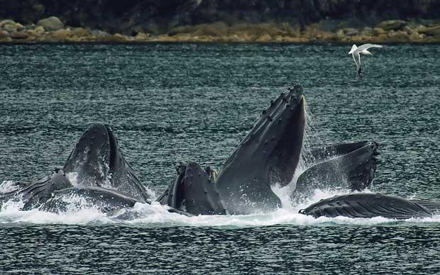 ballenas jorobadas alimentándose