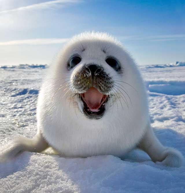 bebé de foca arpa sonriendo