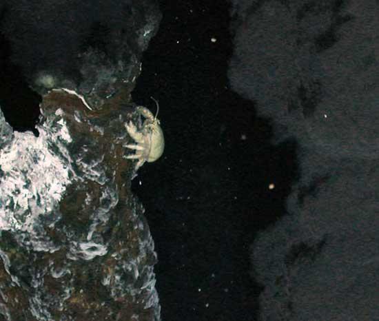cangrejo escaldado cerca de fuentes hidrotermales