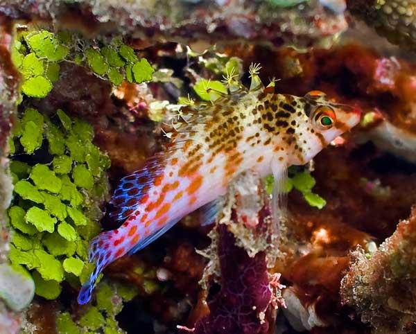Cirrhitichthys falco, pez halcón enano