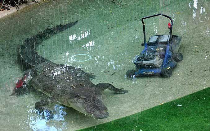cocodrilo guarda cortadora de cesped
