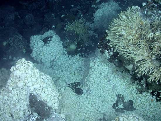 colonia de cangrejos yeti kiwa cerca de fuentes hidrotermales