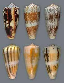 conchas de caracol cono
