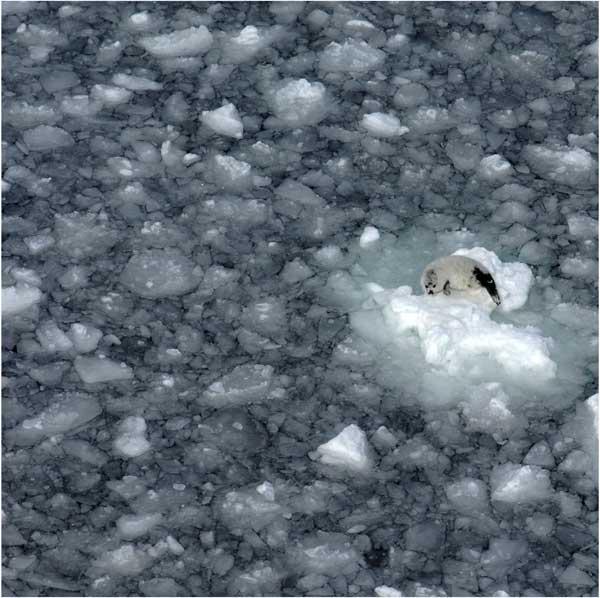 cría de foca arpa sobre el hielo marino