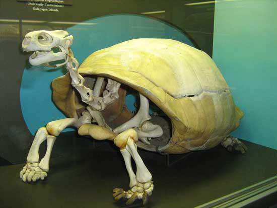 esqueleto de Chelonoidis elephantopus