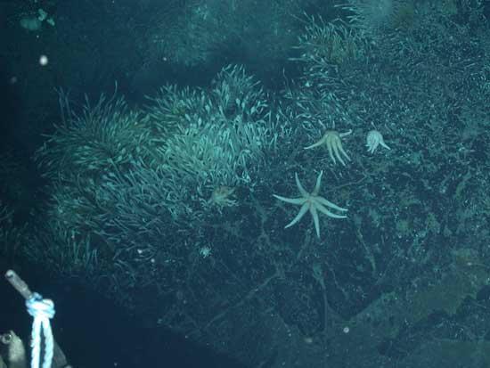 estrellas de mar de 7 brazos
