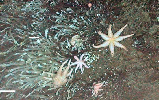 estrellas de mar de 7 puntas en la Antártida
