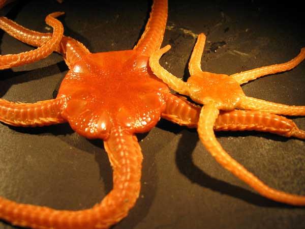 estrellas de mar,  crédito NOAA