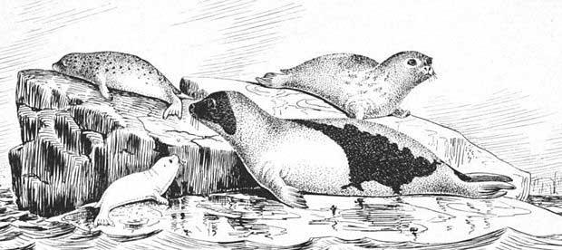 focas arpa (Pagophilus groenlandicus) sobre el hielo