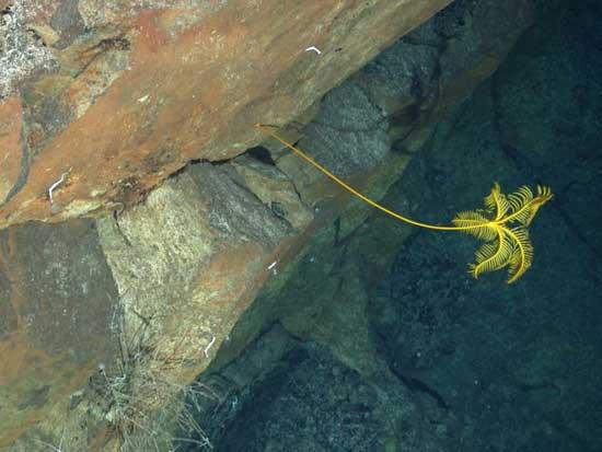 nueva especie marina junto a respiraderos hidrotermales