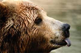 oso Kodiak de Alaska