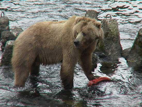oso pardo de Alaska comiendo un salmón