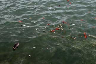 peces muertos por la erupción en El Hierro