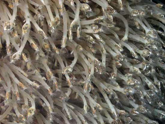 percebes cerca de ventiladores hidrotermales
