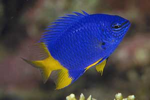 pez damisela