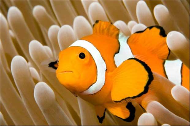 al pez payaso le aecta el co2