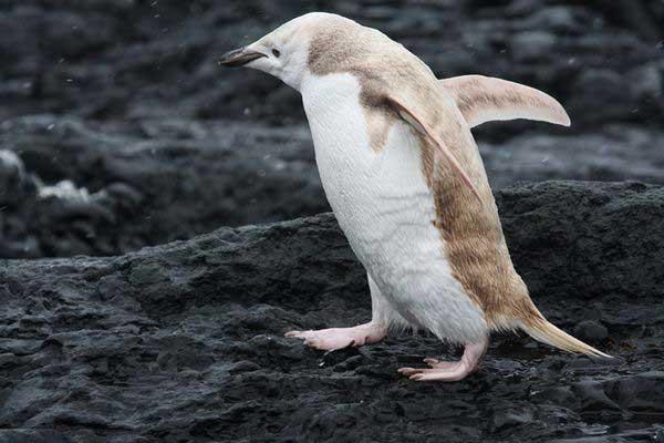 pinguino blanco con isabelinismo