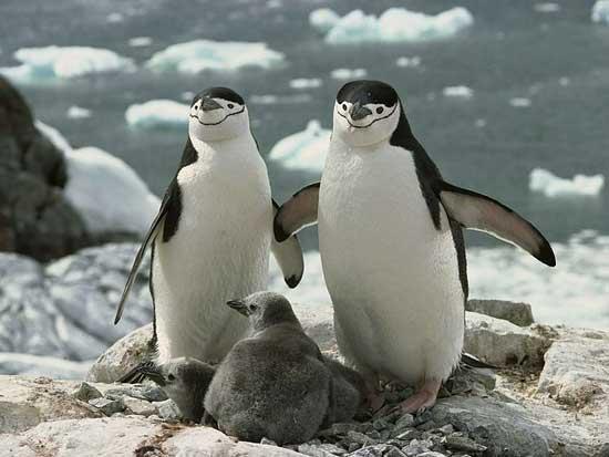 pinguinos de barbijo