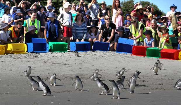 pingüinos liberados tras el derrame dfe petróleo del Rena