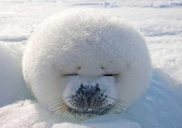 precioso cachorro de foca arpa