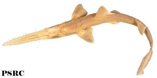 tiburón estoqueador (Pristiophorus nancyae)