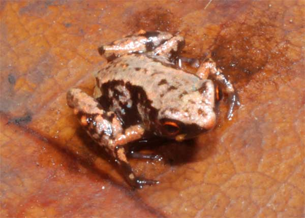 rana Paedophryne amauensis