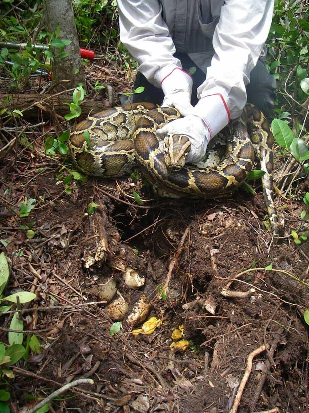 serpiente pitón birmana (Python molurus bivattatus)