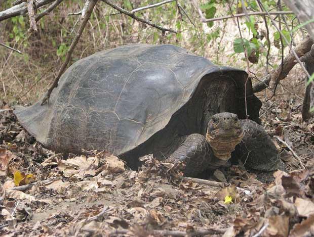 tortuga híbrida Chelonoidis becki