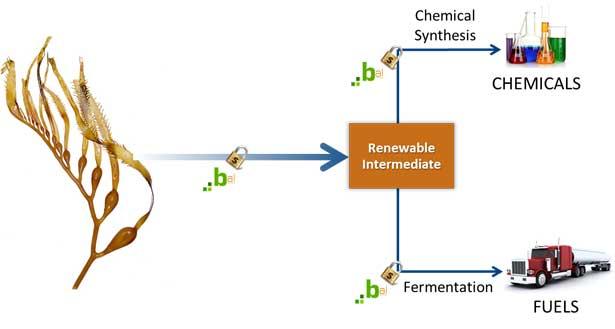 BAL, algas para biocombustibles