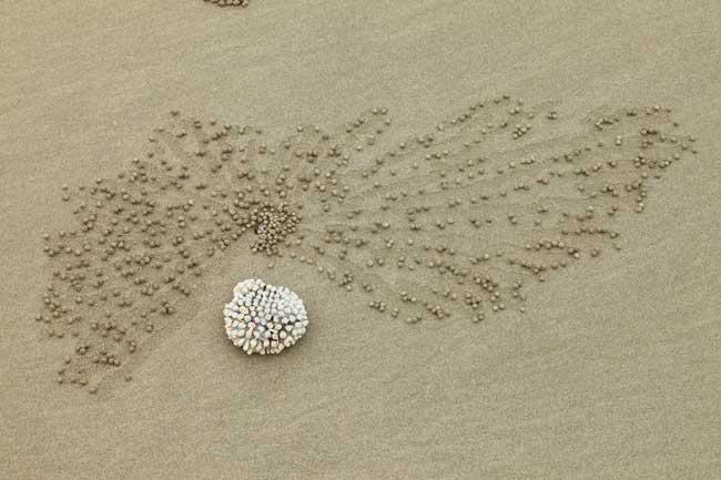 bolas cangrejo pelele de la arena (Scopimera globosa) o (Dotilla fenestrate)