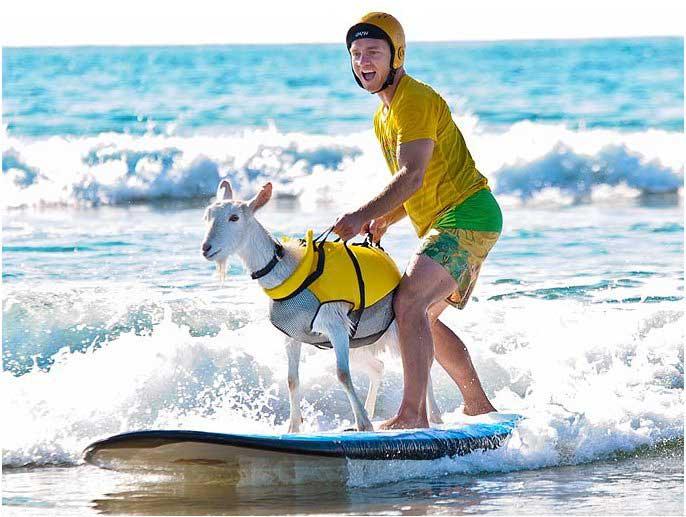 cabra haciendo surf