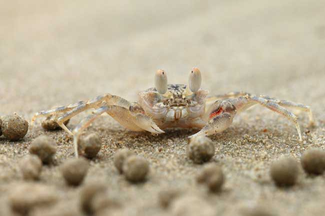 cangrejo pelele de la arena (Scopimera globosa) o (Dotilla fenestrate)