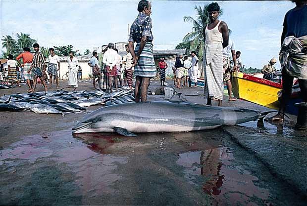 delfines para comida humana en Sri Lanka