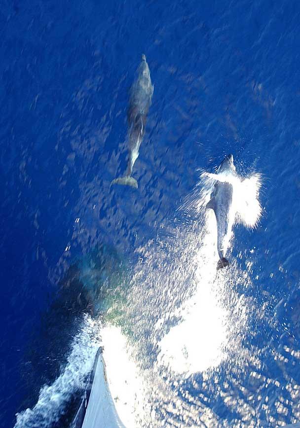 delfines guiados hacía el Golfo Pérsico