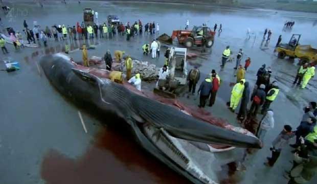disección de un rorcual común o ballena de aleta