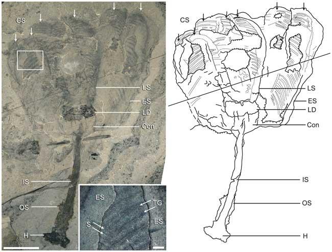 estructura de la Siphusauctum gregarium
