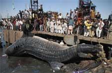 gruas para el tiburón ballena en Karachi, Pakistán