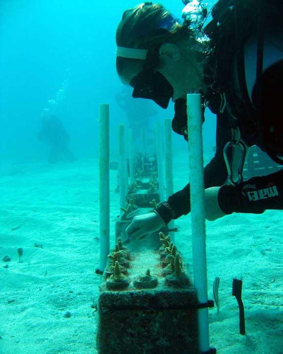 limpieza de un vivero de coral