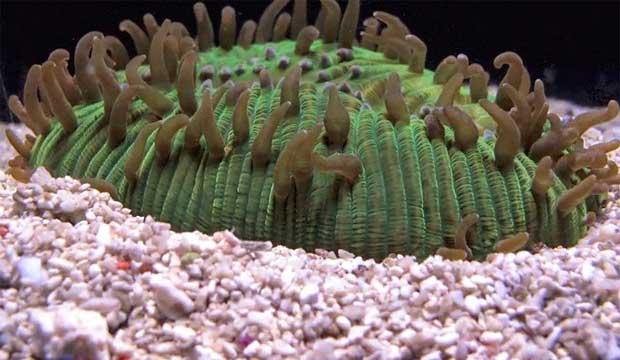 coral Lobactis scutaria