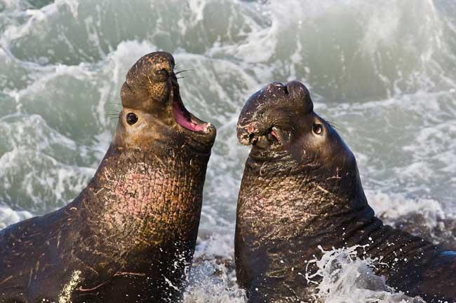 lucha de elefantes marinos