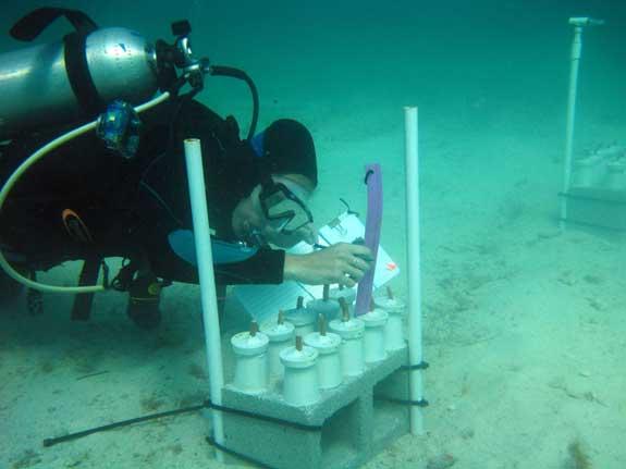 medición del coral cuerno de ciervo