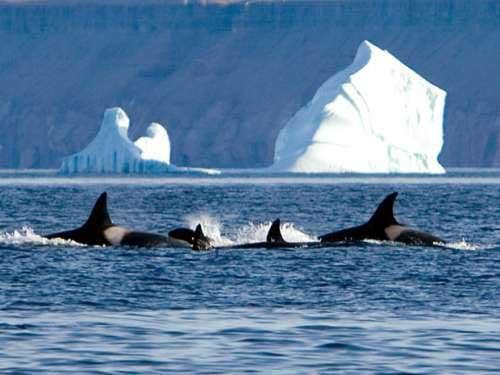 orcas en el Ártico