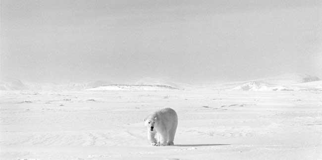 oso polar Ragnar Axelsson