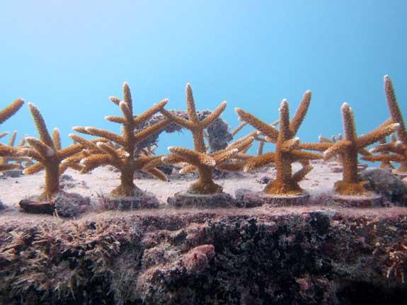 plantones de coral cuerno de ciervo