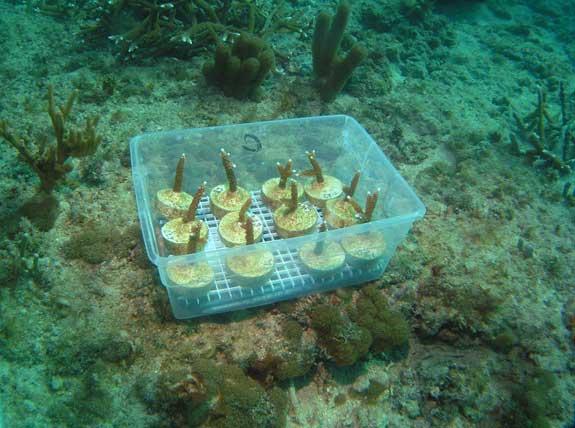 plantones de coral preparados para trasplante