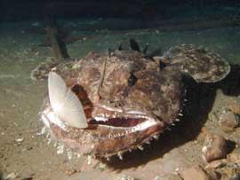 rape común (Lophius piscatorius)