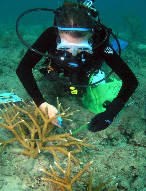 recorte de cuernos de un coral cuerno de ciervo