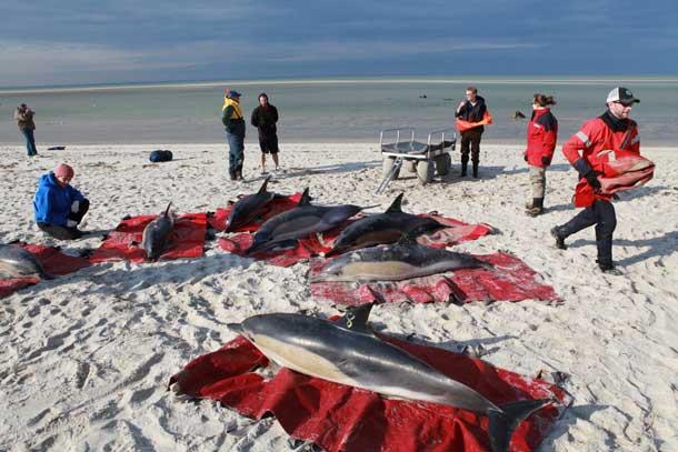 rescate de delfines en Cape Cod