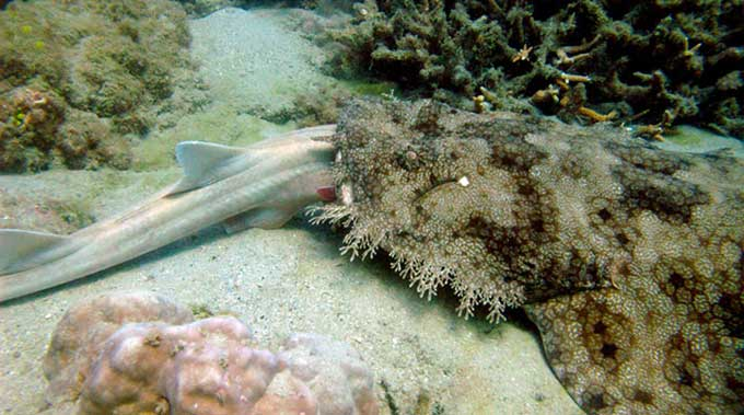 tiburón alfombra se come a un tiburón bambú